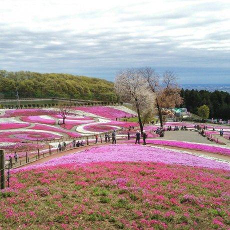 Shibazakura ở Misato
