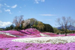 View from somewhere near the entrance of the park. The magic of the pink Moss Phlox art awaits...