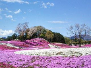 Pemandangan dari area di dekat pintu masuk taman. 'Moss phlox' merah muda sudah siap untuk menyihir siapapun yang melihatnya.