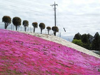 Perbandingan sempurna antara bunga-bunga berwarna putih dan merah muda menyala