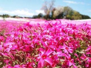 Bunga-bunganya ternyata tampak terlalu cerah untuk mata ketika disinari mentari