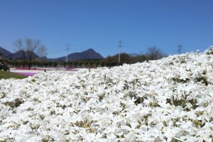 Close up image of the white moss phlox. The blue skies make the white petals stand out even more.