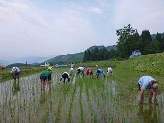 Nhổ cỏ trên một cánh đồng lúa. Trên những cánh đồng hữu cơ như thế này, việc nhổ cỏ thường thực hiện bằng tay hai đến ba lần vào giữa mùa hè.