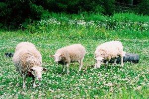 Farm animals for company