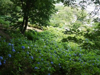 A slope covered with blue hydrangeas
