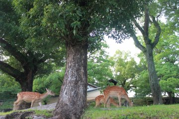 <p>Some of the many deer you will find freely roaming the city</p>