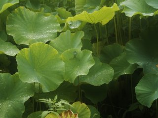 Yakushiike Kôen : la mer de lotus, abritant de jolis spécimens