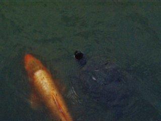 Yakushiike Kôen : les poissons et les tortues nagent ensemble pour vous suivre le long du lac