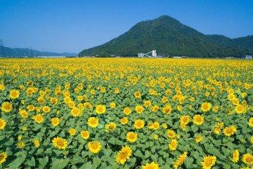 Thiên đường hoa hướng dương ở Fukui