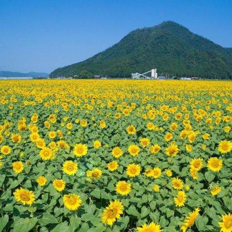 Sunflower Paradise in Fukui