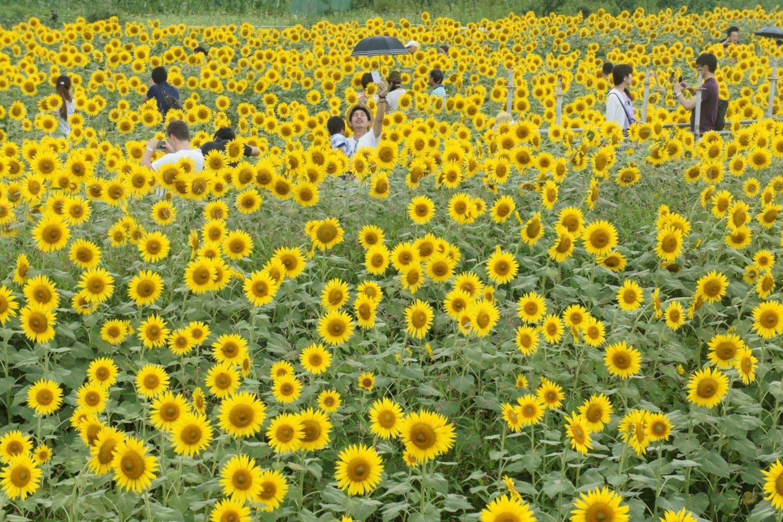 Para pengunjung yang 'tenggelam' dalam padang bunga matahari