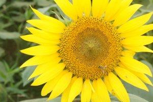 Psstt.. banyak lebah yang hinggap di bunga-bunga