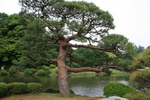 One of the beautifully tended red pines at the Japanese pond.