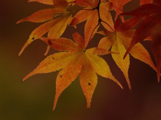 Maple leaves close-up