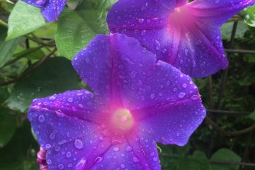 <p>These boast a vibrant purple and pink.</p>