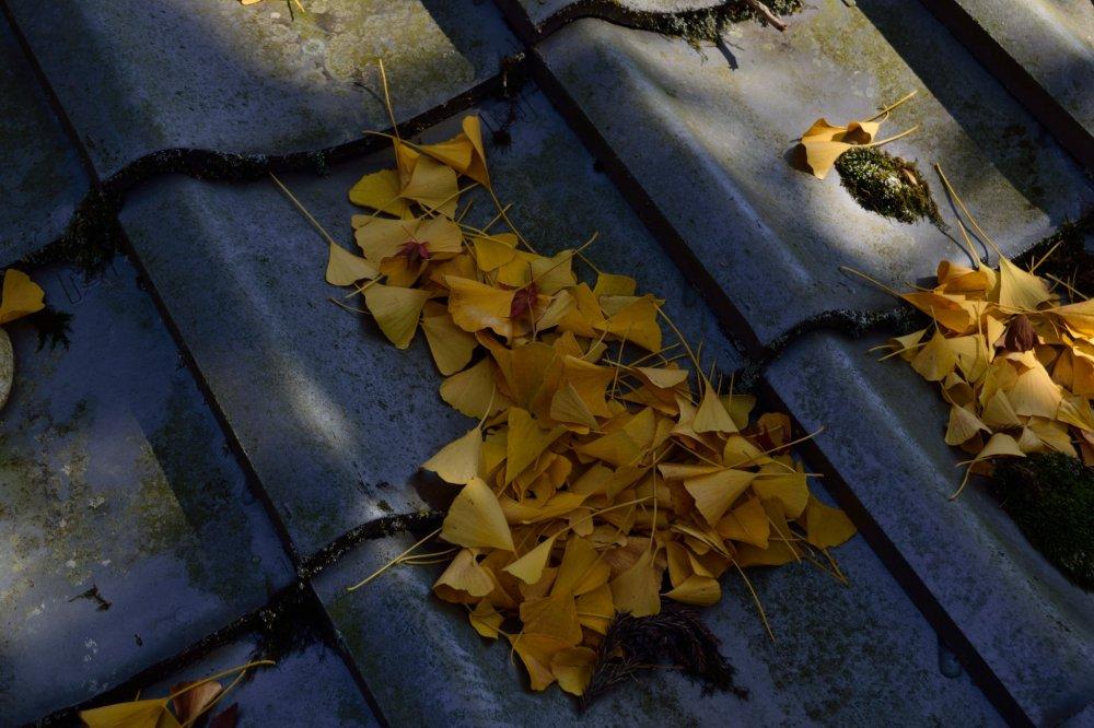 銀杏の落ち葉が積もっていく