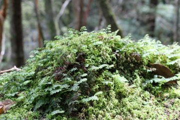 <p>Moss on a rock mirrors the forest above in miniature</p>