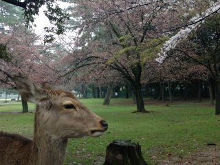 The deer will pose for you.