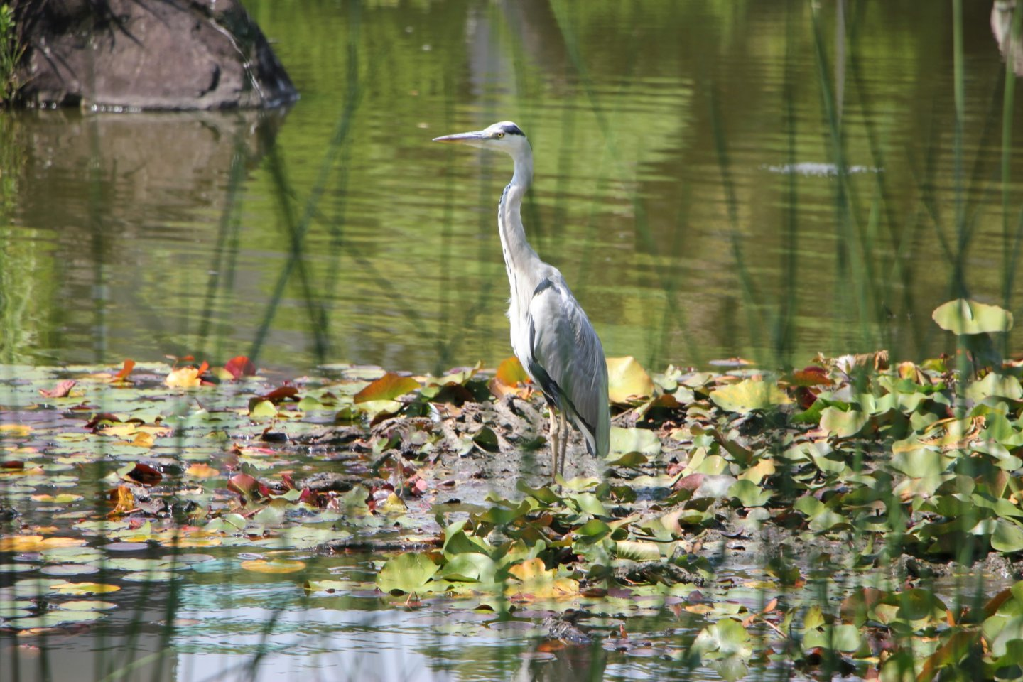 A heron cleaning itsfeathers in the middle of the pond