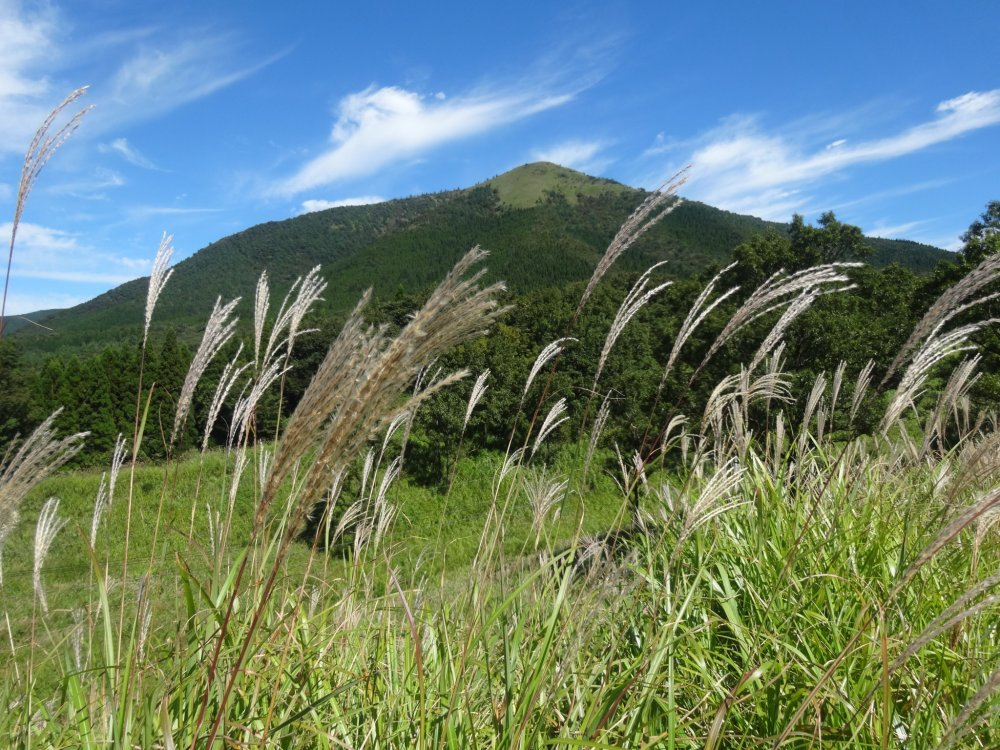 Silver pampas grass with views of the Kuju Mountain Range