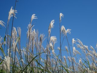 The grass tends to grow in wild fields in the countryside or wherever the land has been untouched