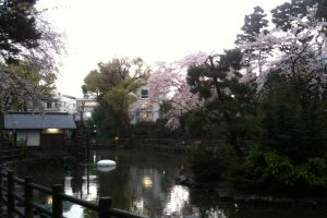 Sakura in Shoto Park