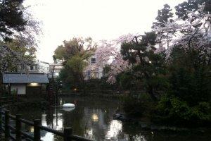 Sakura in Shoto Park