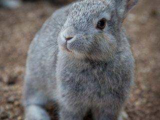 Kebanyakn kelinci di Okunoshima berwarna coklat, namun si kecil ini memilik bulu abu-abu