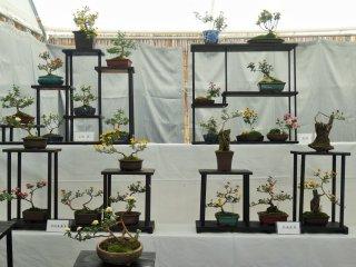 Bonsai chrysanthemums on display at Matsumoto Castle