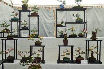 Bonsai Chrysanthemum Display