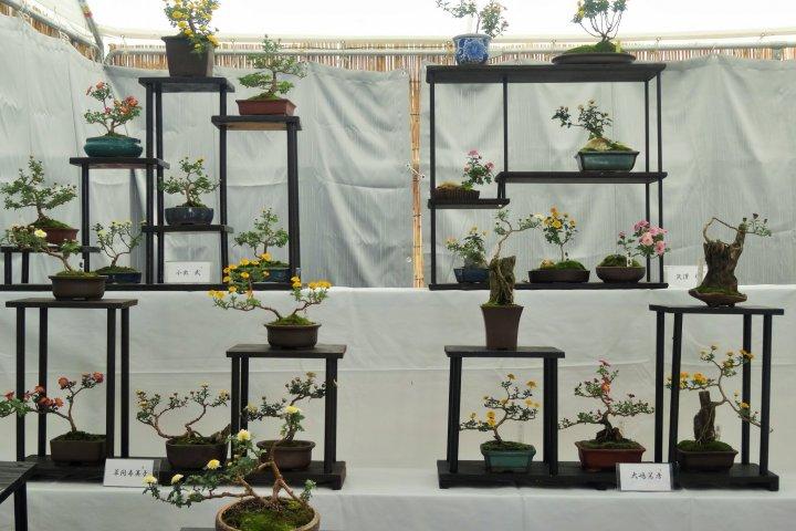 Exposition: Bonsaï de Chrysanthèmes