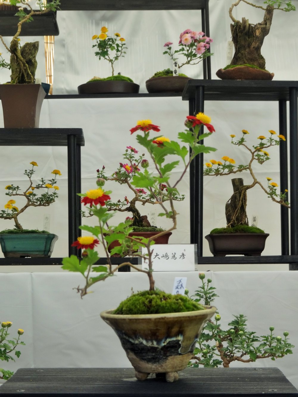 The mums have been carefully tended in the typical bonsai style