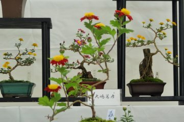 <p>The mums have been carefully tended in the typical bonsai style</p>