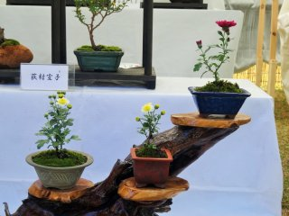 Chrysanthemums are not the usual flower to be considered for bonsai cultivation, making this a rather unique exhibit