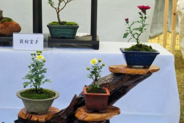 <p>Chrysanthemums are not the usual flower to be considered for bonsai cultivation, making this a rather unique exhibit</p>