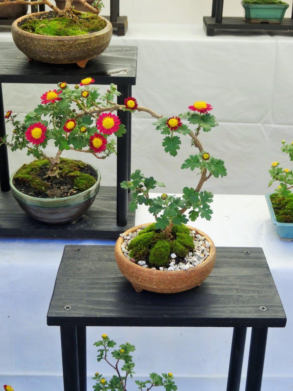 Bonsai Chrysanthemum Display Matsumoto Nagano Japan Travel