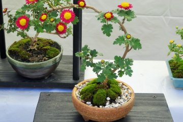 <p>These two bonsai appear as if they are growing into each other</p>