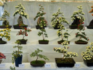 The bonsai on display seemed to cover a wide range of varieties, with multiple colors and petal types