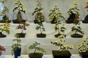 <p>The bonsai on display seemed to cover a wide range of varieties, with multiple colors and petal types&nbsp;</p>