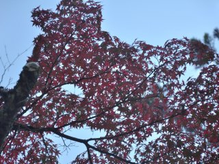 Dark red leaves make a stark contrast to the light blue sky