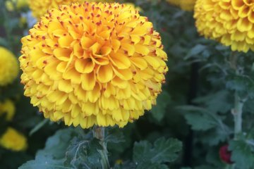<p>An interesting yellow Chrysanthemum</p>