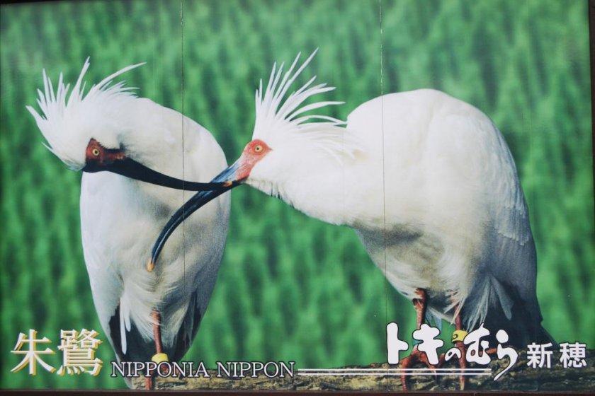Cò quăm có mào Nhật Bản-thường thấy trong quảng cáo đảo Sado (như thế này) nhưng hiếm khi được nhìn thấy trong tự nhiên.