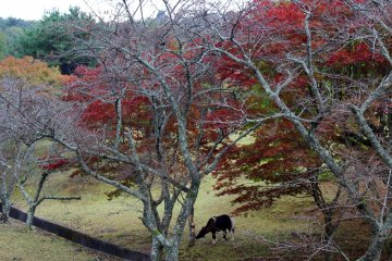 <p>A pony grazes under red maples</p>