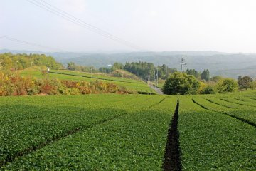 <p>Green tea plantations stretch away into the distance opening the view from the slopes of Mt. Kono</p>