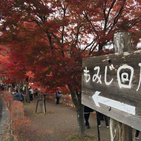 Barisan Daun Maple di Kawaguchi-ko