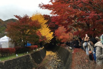 <p>There are some yellow gingko leaves too.</p>