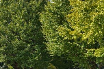 <p>교정을 서쪽으로 걸어 코마바 공원으로 가는 길의 은행나무 가로수.</p>