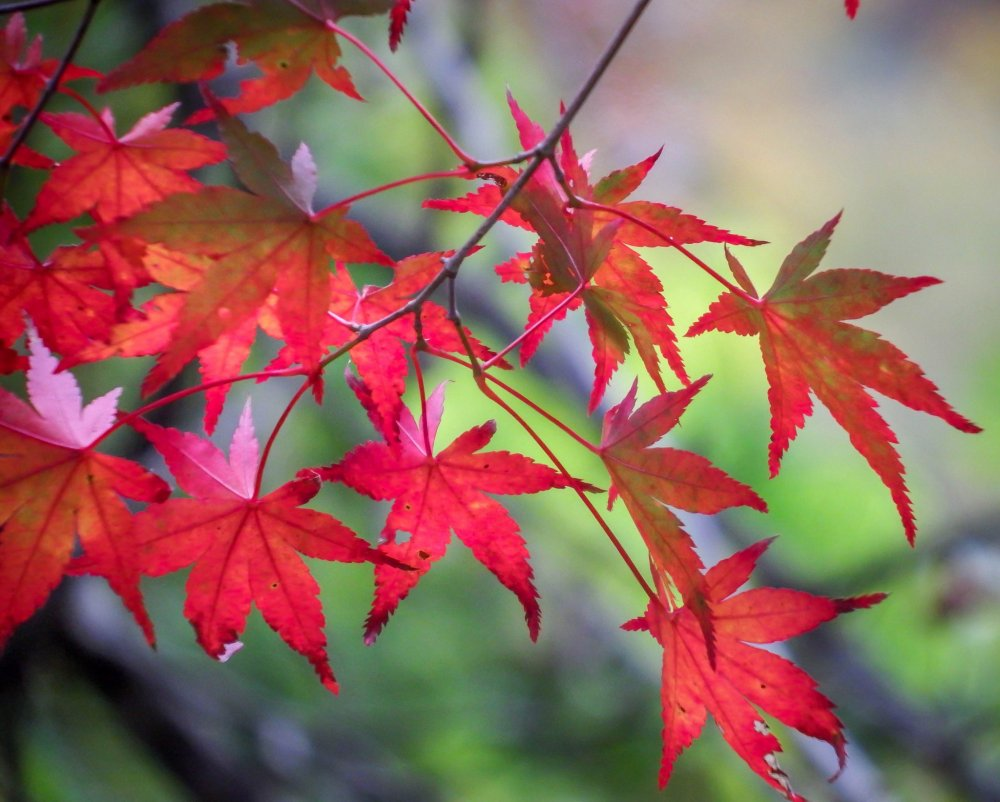 Followed by these blood red leaves