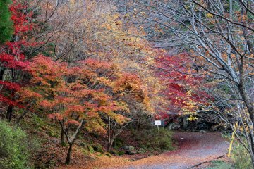 <p>Magma-colored maples along a stretch of the Mitarai Canyon Trail that follows a regular car road</p>