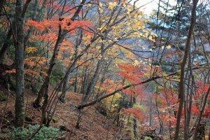 Fiery foliage along an abandoned trail above Mitarai Falls